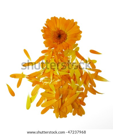 pot marigold herb - stock photo