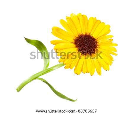 Pot Marigold on white background - stock photo