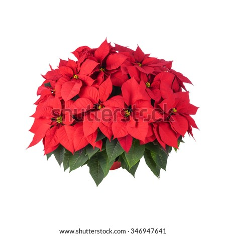 Pot of Bright Red Poinsettia Isolated on White