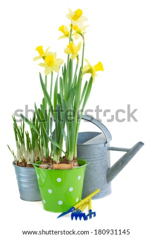 pot of daffodil flowers  with watering can and gardening tools  isolated on white background - stock photo