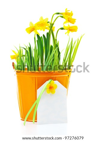 Pot of narcissus flower with blank greeting card, fresh spring plant, Easter and Mother's day gift, vase of yellow flowers isolated over white background, gardening and home decoration - stock photo