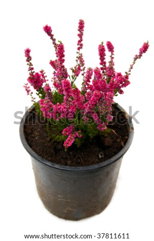 pot of pink heather isolated on white - stock photo
