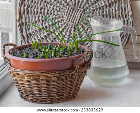 Pot with bulbous sprouts forced on the windowsill - stock photo