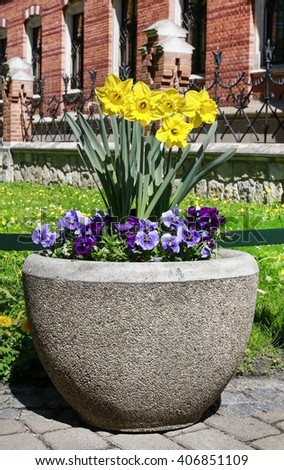 Pot with daffodil and pansy flowers in the garden. Outdoor flower bed.