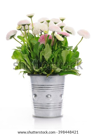 pot with daisies - stock photo