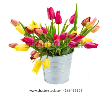 Pot with  pink and yellow spring  tulips flowers   isolated on white background