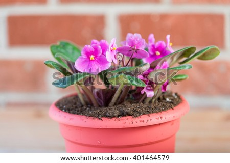 pot with purple flowers of african violet