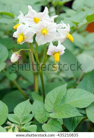 Potato blooms            - stock photo