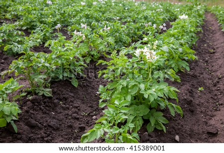 Potato bushes blooming with white flowers growing on the plantation - stock photo