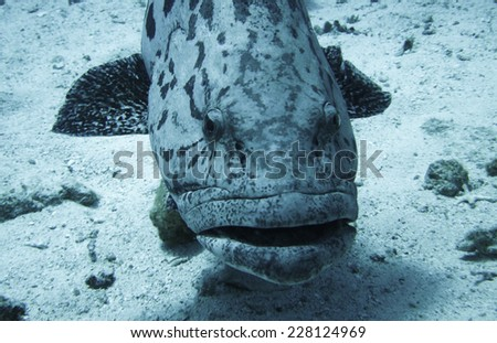 Potato Cod in Great Barrier Reef - stock photo