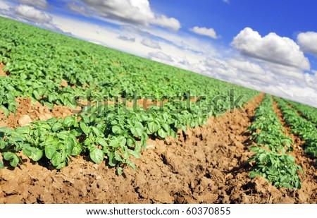 Potato crop on a farm - stock photo