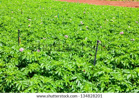 potato fiel with a lot of plants with flowers - stock photo