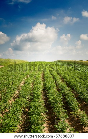 Potato field by summertime. - stock photo
