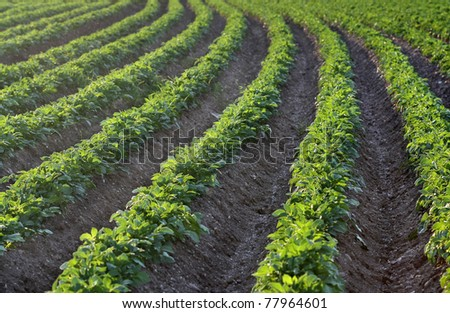 Potato field in the early evening sunlight - stock photo