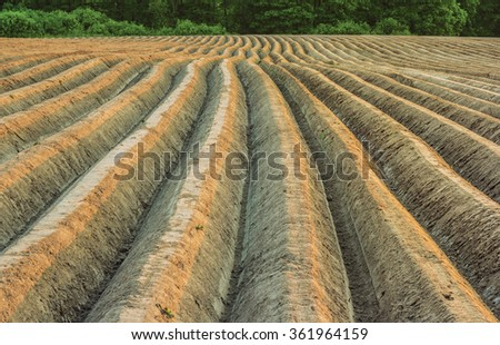 Potato field in the evening light - stock photo