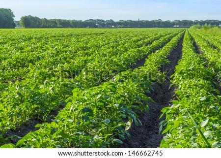 Potato field in the morning sun - stock photo