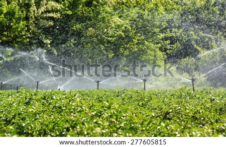 Potato field irrigated with a sprinkler system - stock photo