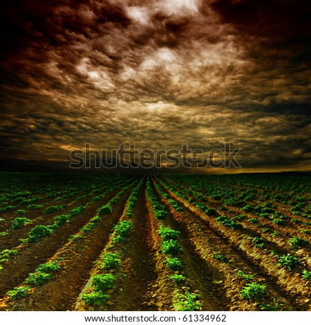 potato field on a sunset under blue sky landscape - stock photo