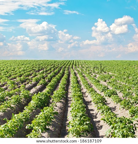 Potato field under beautiful sky - stock photo