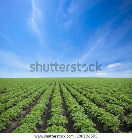 Potato field under blue sky  - stock photo