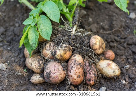 potato field vegetable with tubers in soil dirt surface background - stock photo