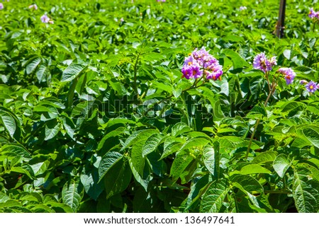 potato field with a lot of plants with flowers - stock photo