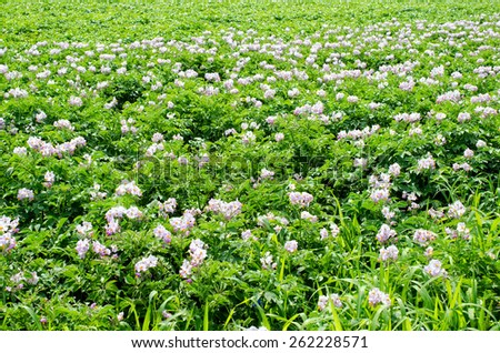 potato field with weeds and Colorado beetles - stock photo