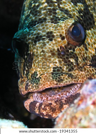 Potato grouper - stock photo