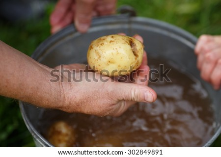 Potato harvesting. Male hand holding washed potatoe straight from the field. Locavore, clean eating,organic agriculture, local farming,growing concept. Selective focus - stock photo