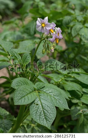 Potato plant blooming in the garden.  The potato is a starchy, tuberous crop from the perennial nightshade Solanum tuberosum L.   - stock photo