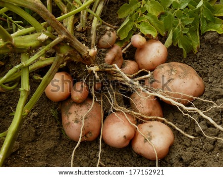 potato plant with tubers digging up from the ground - stock photo