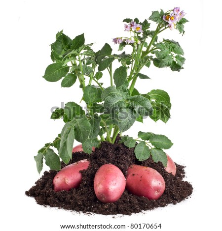 potato plant with  tubers in the soil dirt isolated on white - stock photo