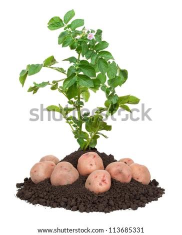 how to draw a potato plant