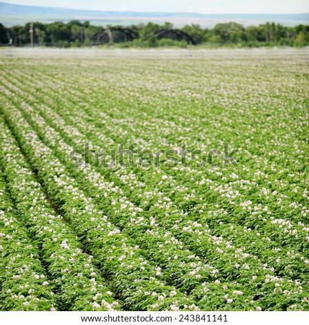 Potato plants blooming in a farm field - stock photo