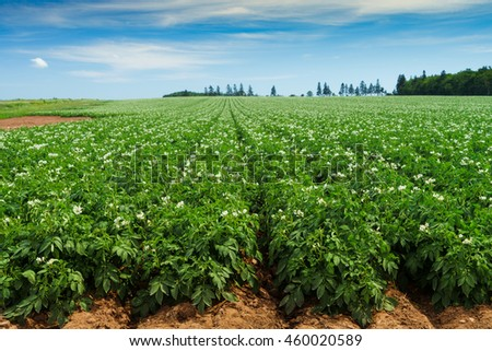 Potato plants flowering in the field in rural Prince Edward Island, Canada.