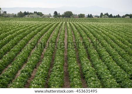 Potato Plants Grow Idaho Farm Agriculture Food Crop - stock photo