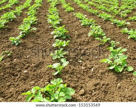 Potato plants in an allotment garden - stock photo