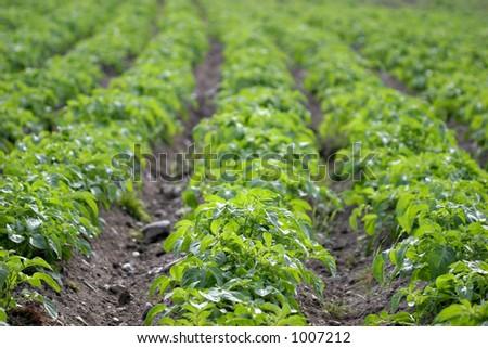 Potato rows - stock photo