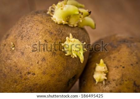 Potato sprouts - stock photo