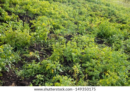 Potato tops in nature - stock photo