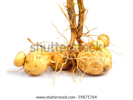 Potato with root close up isolated on white - stock photo