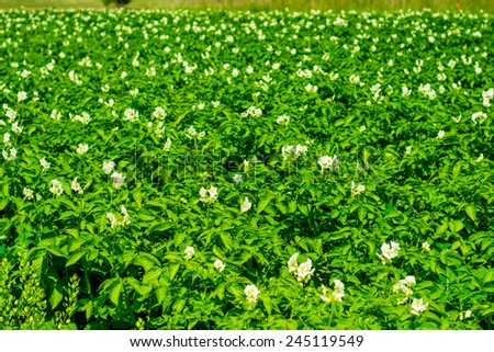 potatoe field and sunny summer day  - stock photo