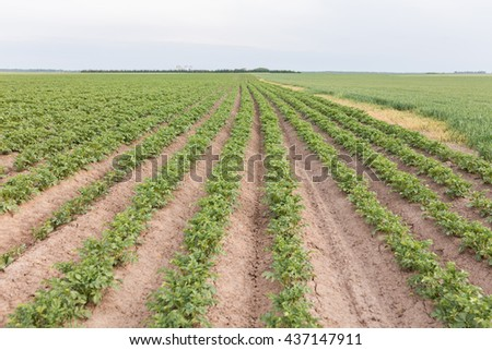 Potatoe field rows with green shoots of potatoes