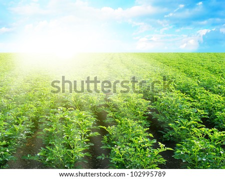 Potatoes field and sunny summer day. - stock photo