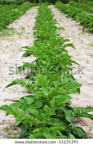 Potatoes Field over gray soil - stock photo