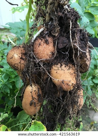 Potatoes growing on plant.