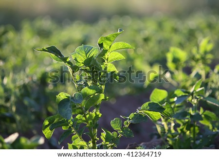 Potatoes growing on the field - stock photo