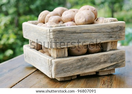 Potatoes in the box against the green of the garden. Potato crop in a wooden box. - stock photo