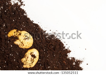 potatoes on the soil - stock photo