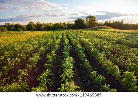 Potatoes plantation with a sunset light - stock photo